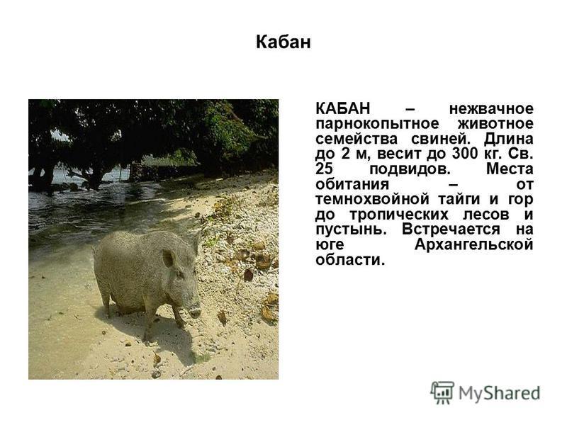 Кабан КАБАН – нежвачное парнокопытное животное семейства свиней. Длина до 2 м, весит до 300 кг. Св. 25 подвидов. Места обитания – от темнохвойной тайги и гор до тропических лесов и пустынь. Встречается на юге Архангельской области.