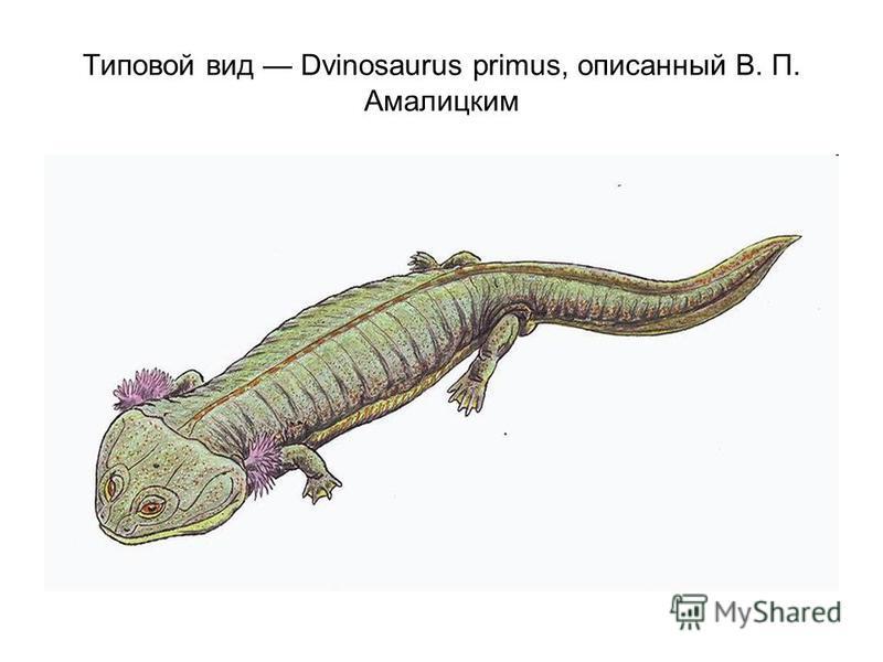 Типовой вид Dvinosaurus primus, описанный В. П. Амалицким