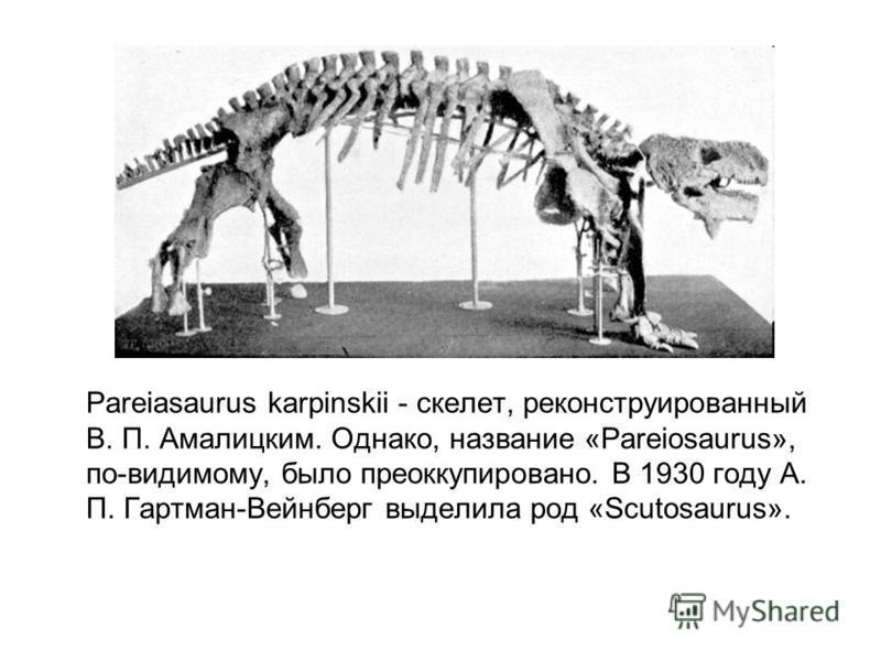 Pareiasaurus karpinskii - скелет, реконструированный В. П. Амалицким. Однако, название «Pareiosaurus», по-видимому, было преоккупировано. В 1930 году А. П. Гартман-Вейнберг выделила род «Scutosaurus».