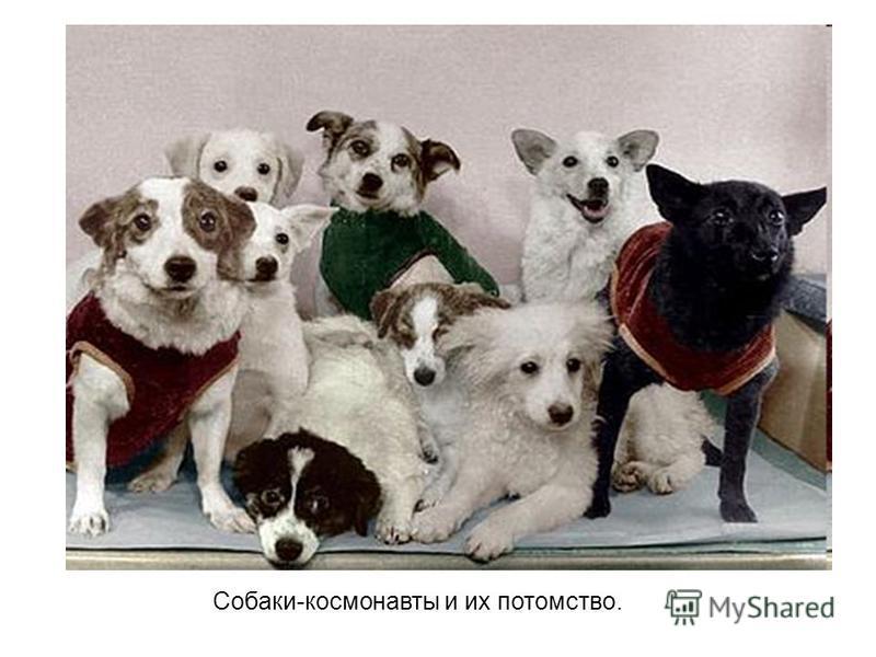 Собаки-космонавты и их потомство.