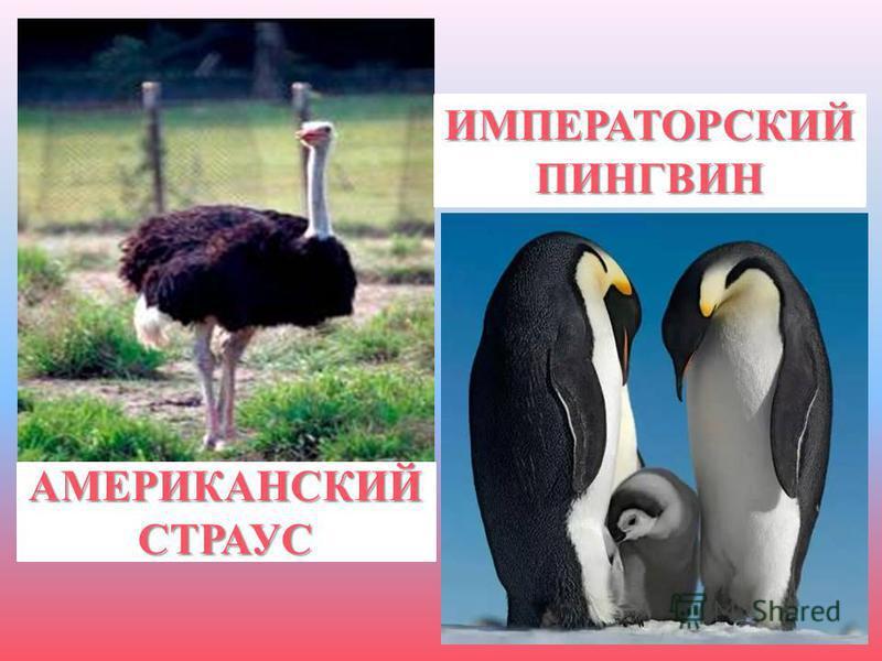 ИМПЕРАТОРСКИЙ ПИНГВИН АМЕРИКАНСКИЙ СТРАУС