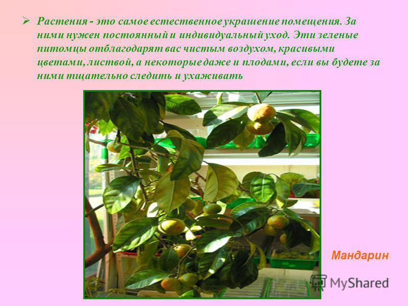 Растения - это самое естественное украшение помещения. За ними нужен постоянный и индивидуальный уход. Эти зеленые питомцы отблагодарят вас чистым воздухом, красивыми цветами, листвой, а некоторые даже и плодами, если вы будете за ними тщательно след