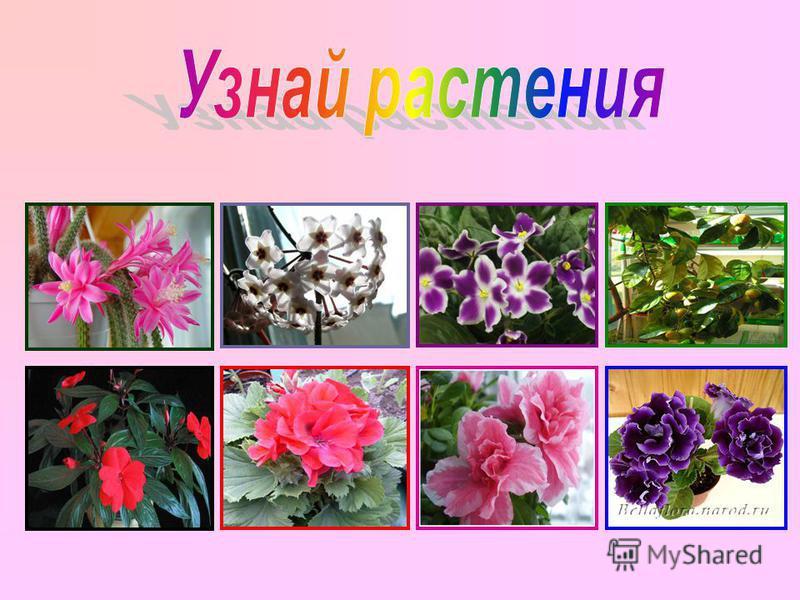 Кактус Розовый плющ Сенполии Мандарин Бальзамин Герань Азалия Глоксиния