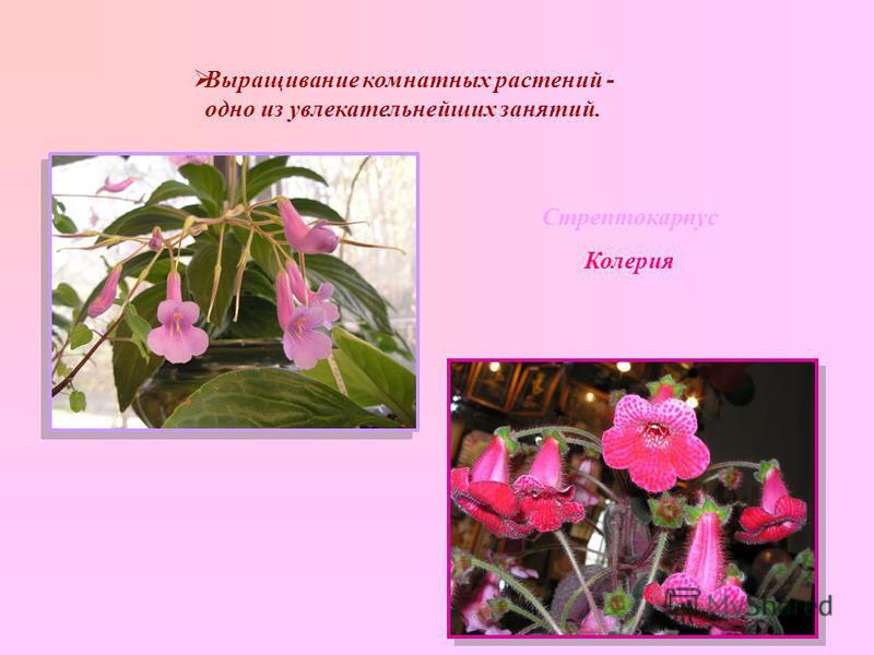Выращивание комнатных растений - одно из увлекательнейших занятий. Стрептокарпус Колерия