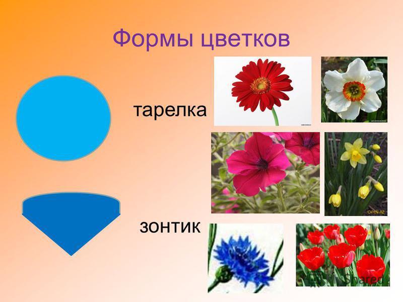 Формы цветков тарелка зонтик