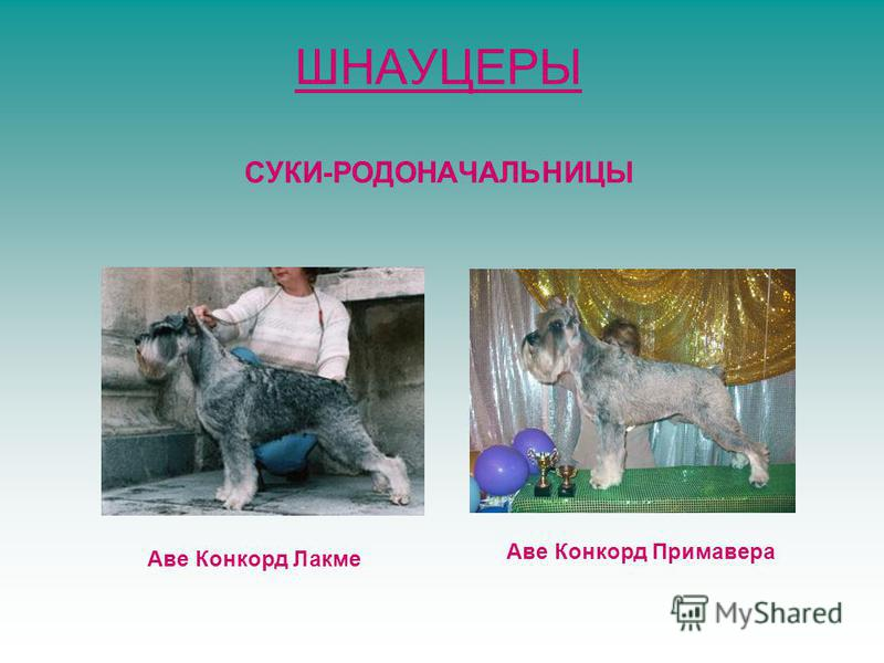 ШНАУЦЕРЫ СУКИ-РОДОНАЧАЛЬНИЦЫ Аве Конкорд Лакме Аве Конкорд Примавера