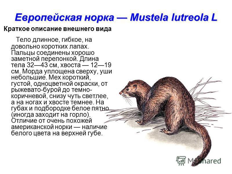Европейская норка Mustela lutreola L Краткое описание внешнего вида Тело длинное, гибкое, на довольно коротких лапах. Пальцы соединены хорошо заметной перепонкой. Длина тела 3243 см, хвоста 1219 см. Морда уплощена сверху, уши небольшие. Мех короткий,