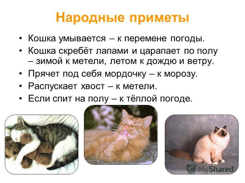 Народные приметы Кошка умывается – к перемене погоды. Кошка скребёт лапами и царапает по полу – зимой к метели, летом к дождю и ветру. Прячет под себя мордочку – к морозу. Распускает хвост – к метели. Если спит на полу – к тёплой погоде.