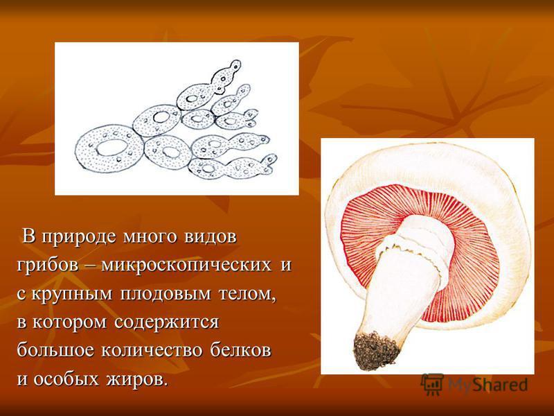 В природе много видов В природе много видов грибов – микроскопических и грибов – микроскопических и с крупным плодовым телом, с крупным плодовым телом, в котором содержится в котором содержится большое количество белков большое количество белков и ос