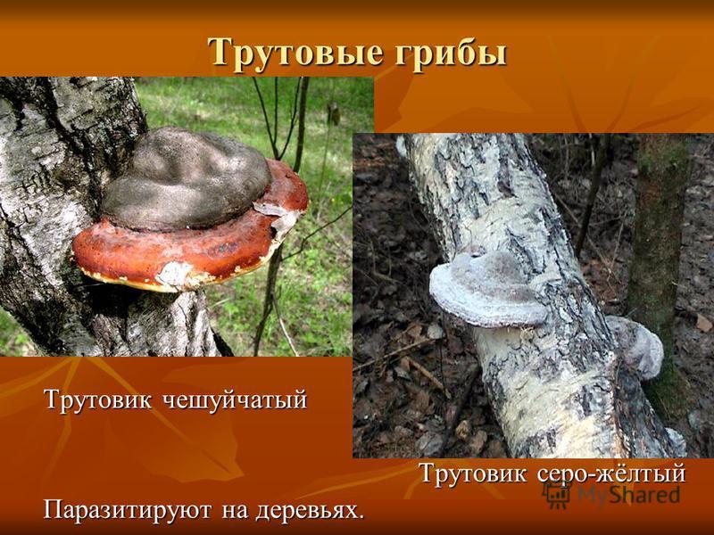 Трутовые грибы Трутовик чешуйчатый Трутовик серо-жёлтый Трутовик серо-жёлтый Паразитируют на деревьях.