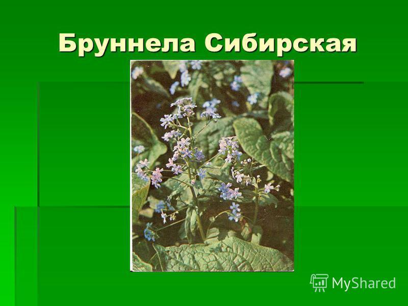 Бруннела Сибирская