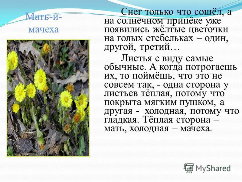 Мать-и- мачеха Снег только что сошёл, а на солнечном припёке уже появились жёлтые цветочки на голых стебельках – один, другой, третий… Листья с виду самые обычные. А когда потрогаешь их, то поймёшь, что это не совсем так, - одна сторона у листьев тёп