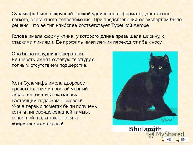 Это – Суламифь – первая кошка породы, праматерь всех существующих ныне Американских Керлов. К сожалению, имеется очень мало ее фотографий, но существующие позволяют получить представление о ее внешнем облике. История Внимание! Стандарт был написан на
