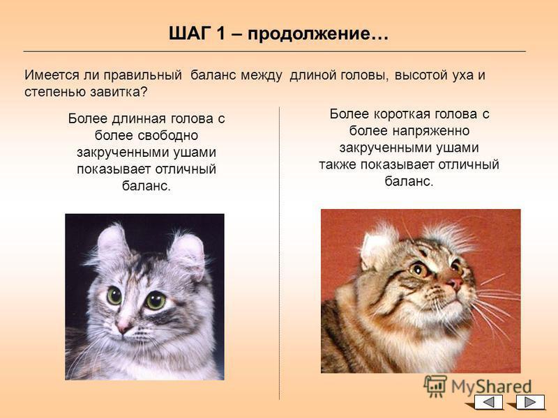 Оценка ушек – ШАГ 1 Осмотр ушей спереди Смотрите на голову кота в то время, когда кот располагается в клетке (на ринге) или на судейском столе. Любой карл с удовольствием воспринимает игру с кисточкой. Момент игры позволит вам оценить баланс головы.