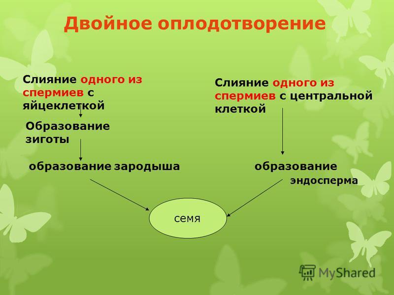 Двойное оплодотворение Слияние одного из спермиев с яйцеклеткой Образование зиготы образование зародыша образование семя Слияние одного из спермиев с центральной клеткой семя эндосперма