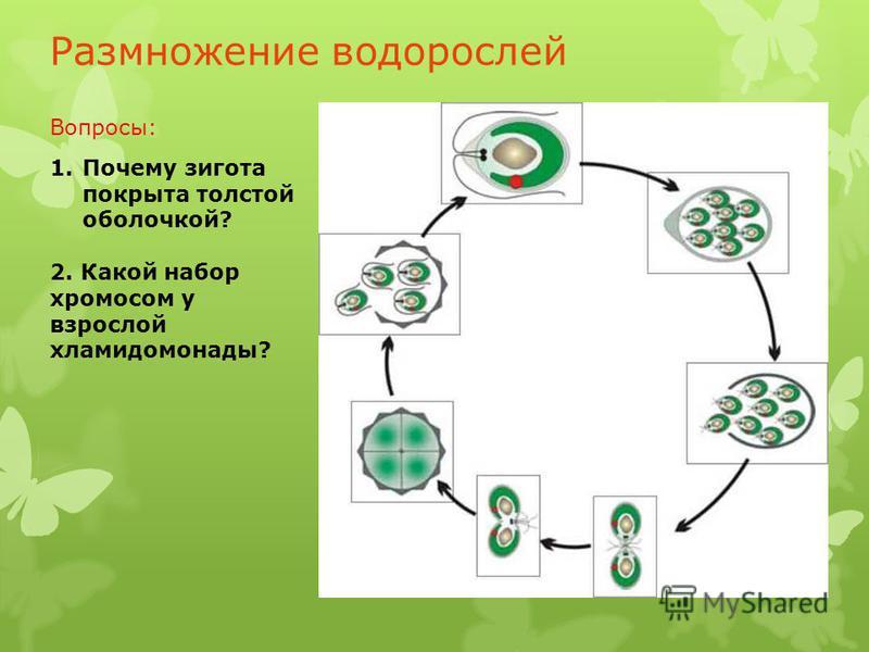 Размножение водорослей 1. Почему зигота покрыта толстой оболочкой? 2. Какой набор хромосом у взрослой хламидомонады? Вопросы: