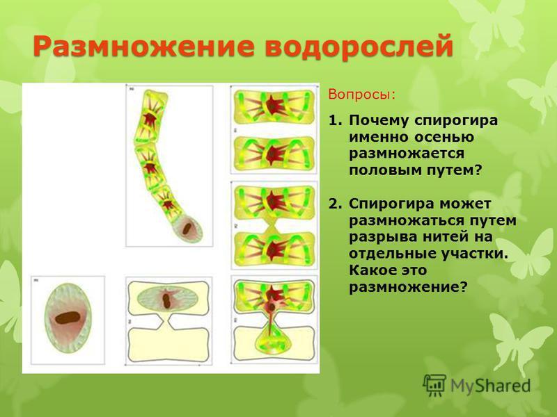 1. Почему спирогира именно осенью размножается половым путем? 2. Спирогира может размножаться путем разрыва нитей на отдельные участки. Какое это размножение? Вопросы: Размножение водорослей