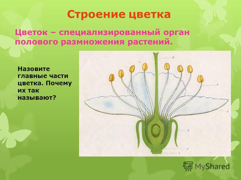 Строение цветка Цветок – специализированный орган полового размножения растений. Назовите главные части цветка. Почему их так называют?