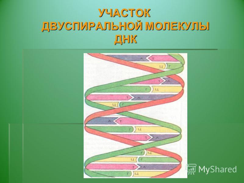 УЧАСТОК ДВУСПИРАЛЬНОЙ МОЛЕКУЛЫ ДНК