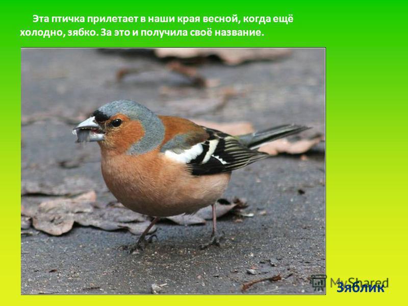 Зяблик Эта птичка прилетает в наши края весной, когда ещё холодно, зябко. За это и получила своё название.