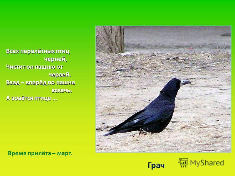 Всех перелётных птиц черней, черней, Чистит он пашню от червей. червей. Взад – вперёд по пашне вскачь. вскачь. А зовётся птица … Грач Время прилёта – март.