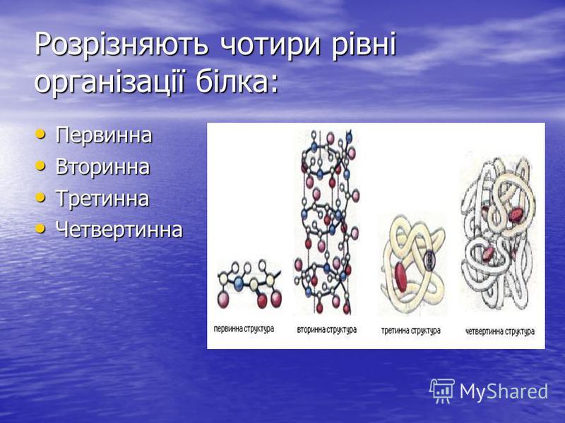 Розрізняють чотири рівні організації білка: Первинна Первинна Вторинна Вторинна Третинна Третинна Четвертинна Четвертинна