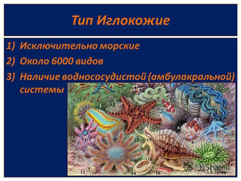 Тип Иглокожие 1)Исключительно морские 2)Около 6000 видов 3)Наличие водно сосудистой (амбулакральной) системы
