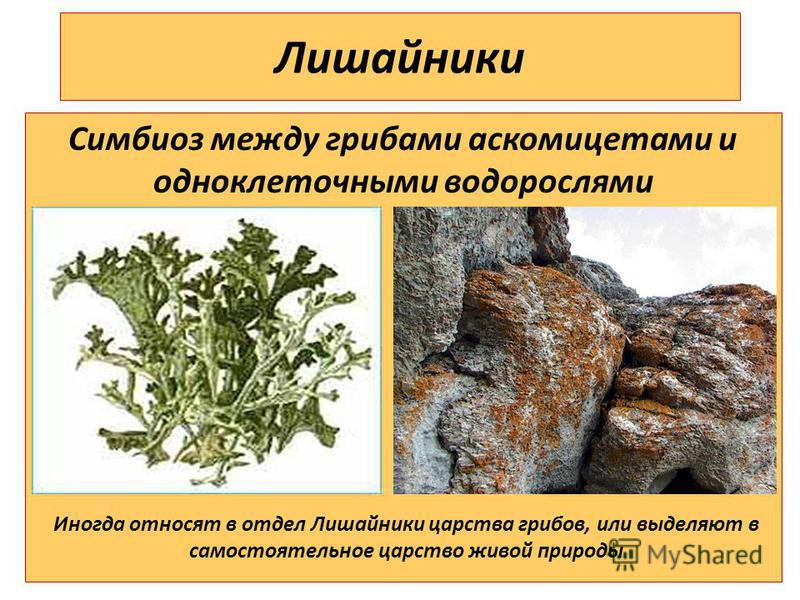 Лишайники Симбиоз между грибами аскомицетами и одноклеточными водорослями Иногда относят в отдел Лишайники царства грибов, или выделяют в самостоятельное царство живой природы
