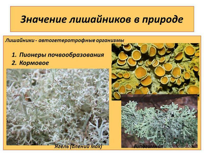 Значение лишайников в природе Лишайники - автогетеротрофные организмы 1. Пионеры почвообразования 2. Кормовое Ягель (олений мох) Гипогимния