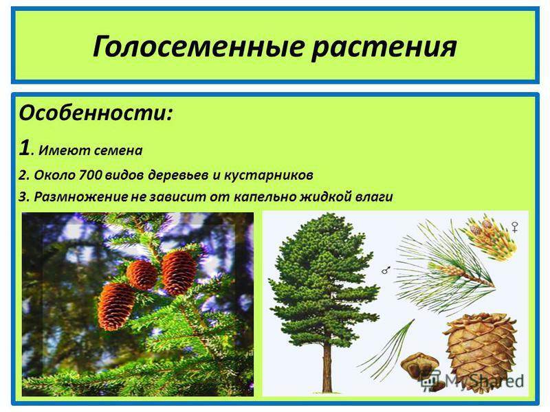 Голосеменные растения Особенности: 1. Имеют семена 2. Около 700 видов деревьев и кустарников 3. Размножение не зависит от капельно жидкой влаги