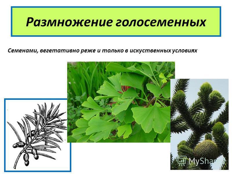 Размножение голосеменных Семенами, вегетативно реже и только в искусственных условиях