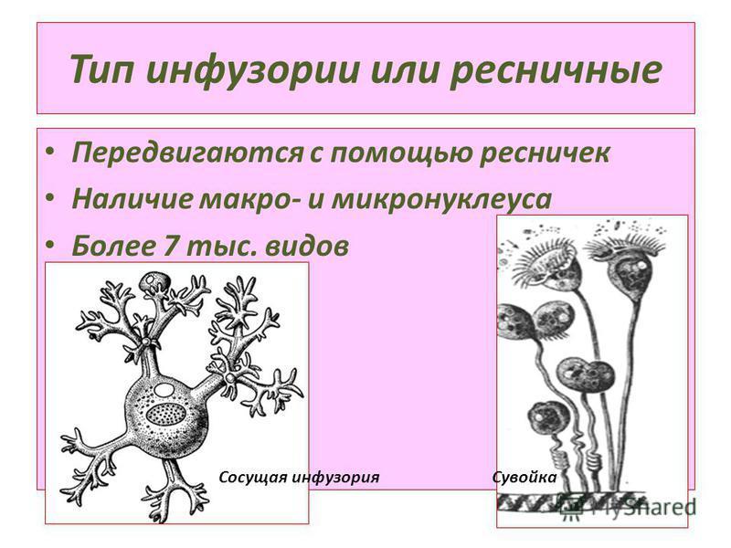 Тип инфузории или ресничные Передвигаются с помощью ресничек Наличие макро- и микронуклеуса Более 7 тыс. видов Сосущая инфузория Сувойка