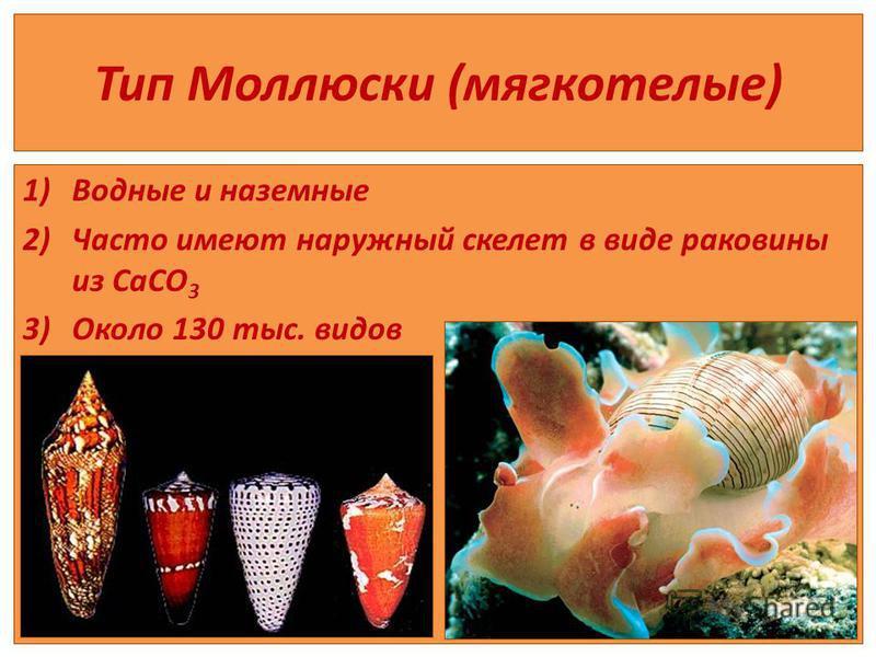 Тип Моллюски (мягкотелые) 1)Водные и наземные 2)Часто имеют наружный скелет в виде раковины из CaCO 3 3)Около 130 тыс. видов