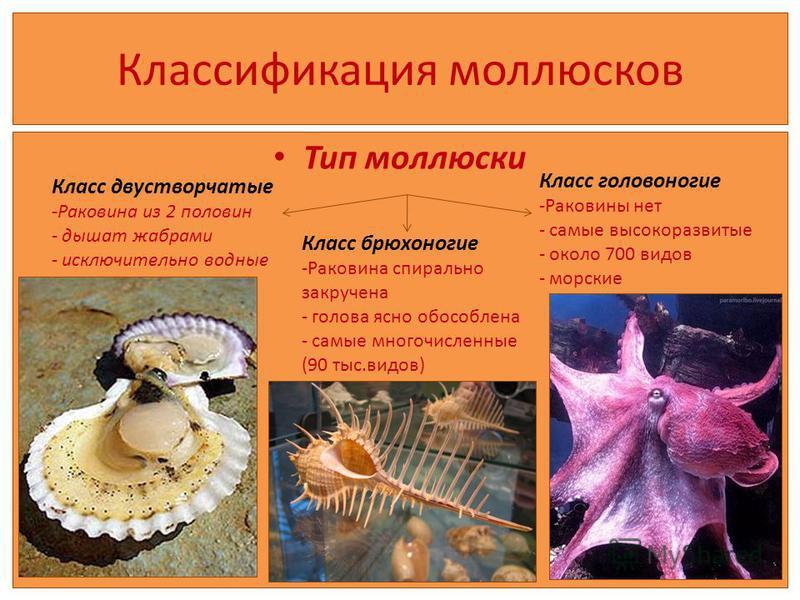 Классификация моллюсков Тип моллюски Класс двустворчатые -Раковина из 2 половин - дышат жабрами - исключительно водные Класс брюхоногие -Раковина спирально закручена - голова ясно обособлена - самые многочисленные (90 тыс.видов) Класс головоногие -Ра