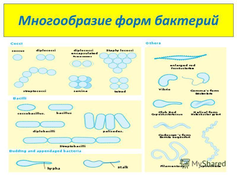 Многообразие форм бактерий