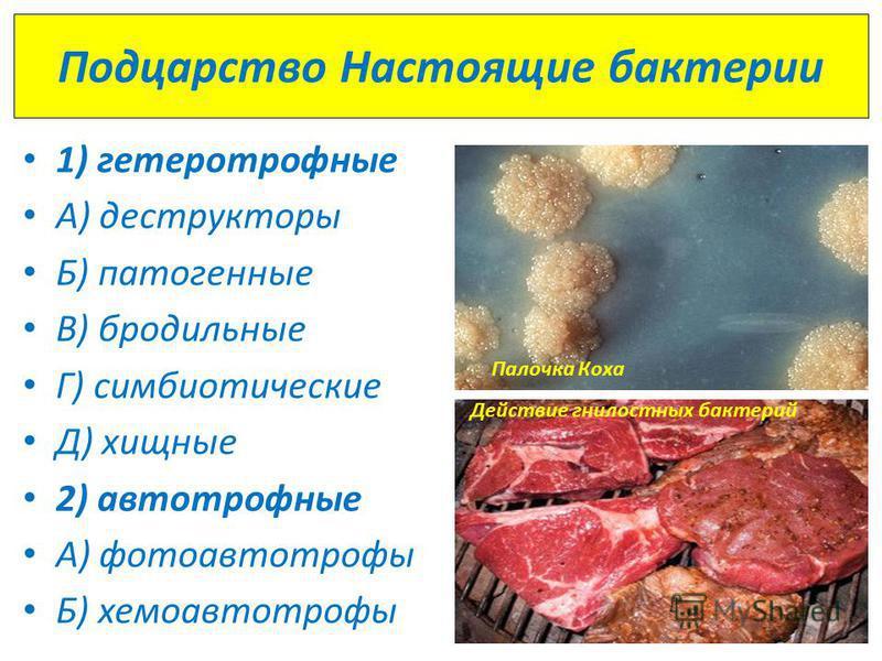 Подцарство Настоящие бактерии 1) гетеротрофные А) деструкторы Б) патогенные В) бродильные Г) симбиотические Д) хищные 2) автотрофные А) фотоавтотрофы Б) хемоавтотрофы Палочка Коха Действие гнилостных бактерий