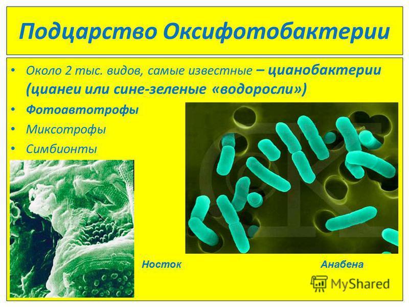 Подцарство Оксифотобактерии Около 2 тыс. видов, самые известные – цианобактерии (цианеи или сине-зеленые «водоросли») Фотоавтотрофы Миксотрофы Симбионты Носток Анабена