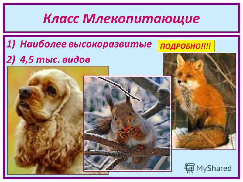 Класс Млекопитающие 1)Наиболее высокоразвитые 2)4,5 тыс. видов ПОДРОБНО!!!!