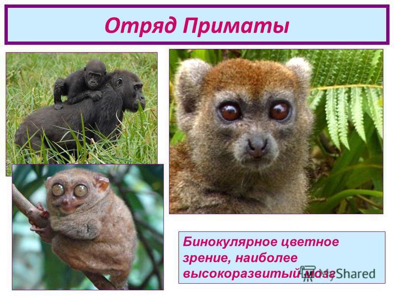 Отряд Приматы Бинокулярное цветное зрение, наиболее высокоразвитый мозг