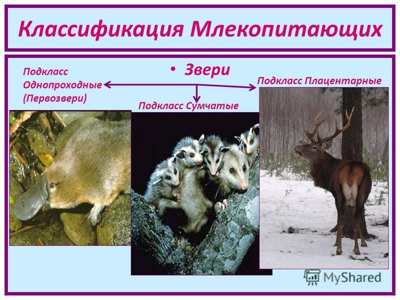 Классификация Млекопитающих Звери Подкласс Однопроходные (Первозвери) Подкласс Плацентарные Подкласс Сумчатые