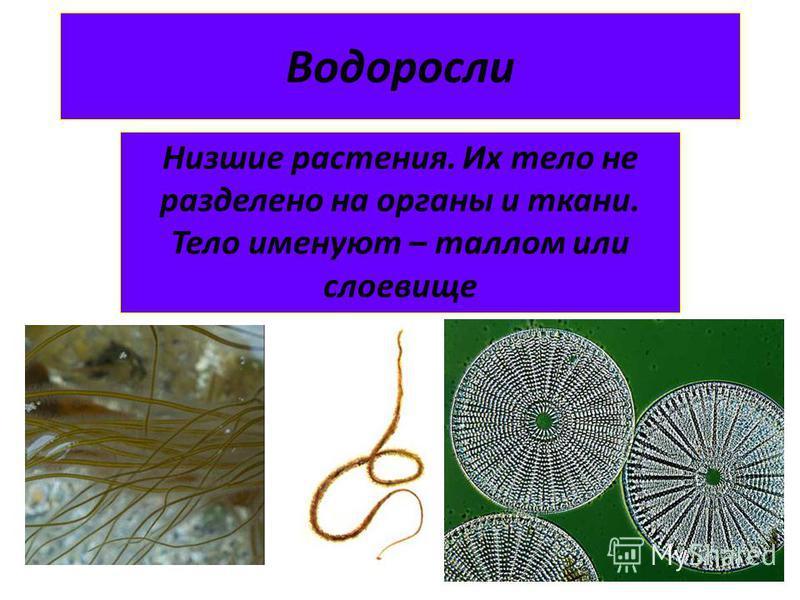 Водоросли Низшие растения. Их тело не разделено на органы и ткани. Тело именуют – таллом или слоевище