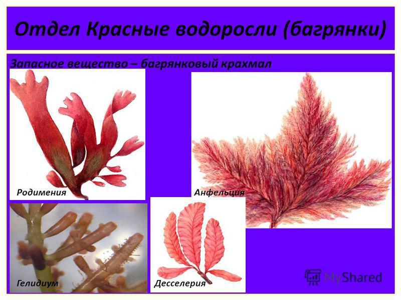 Отдел Красные водоросли (багрянки) Запасное вещество – багрянковый крахмал Родимения Анфельция Гелидиум Десселерия