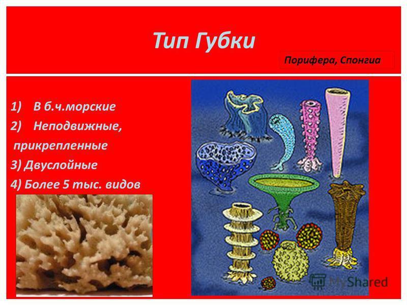 Тип Губки 1)В б.ч.морские 2)Неподвижные, прикрепленные 3) Двуслойные 4) Более 5 тыс. видов Порифера, Спонгиа