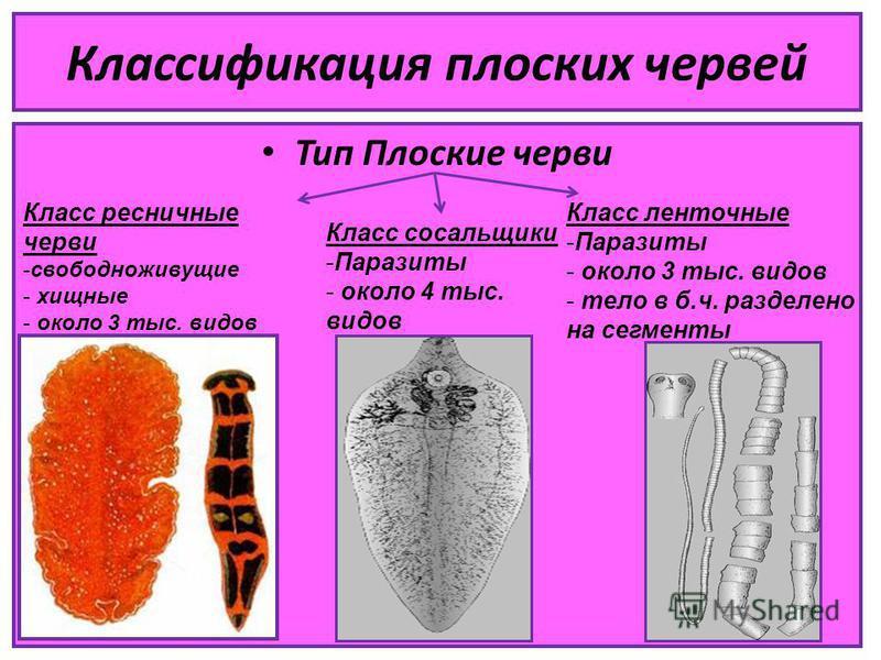 Классификация плоских червей Тип Плоские черви Класс ресничные черви -свободноживущие - хищные - около 3 тыс. видов Класс сосальщики -Паразиты - около 4 тыс. видов Класс ленточные -Паразиты - около 3 тыс. видов - тело в б.ч. разделено на сегменты
