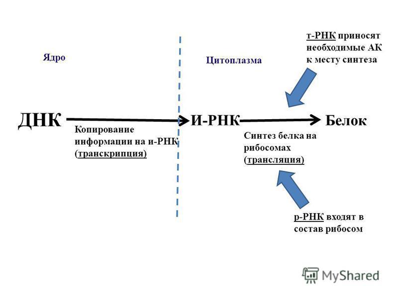 ДНК Копирование информации на и-РНК (транскрипция) Ядро Цитоплазма И-РНКБелок Синтез белка на рибосомах (трансляция) т-РНК приносят необходимые АК к месту синтеза р-РНК входят в состав рибосом