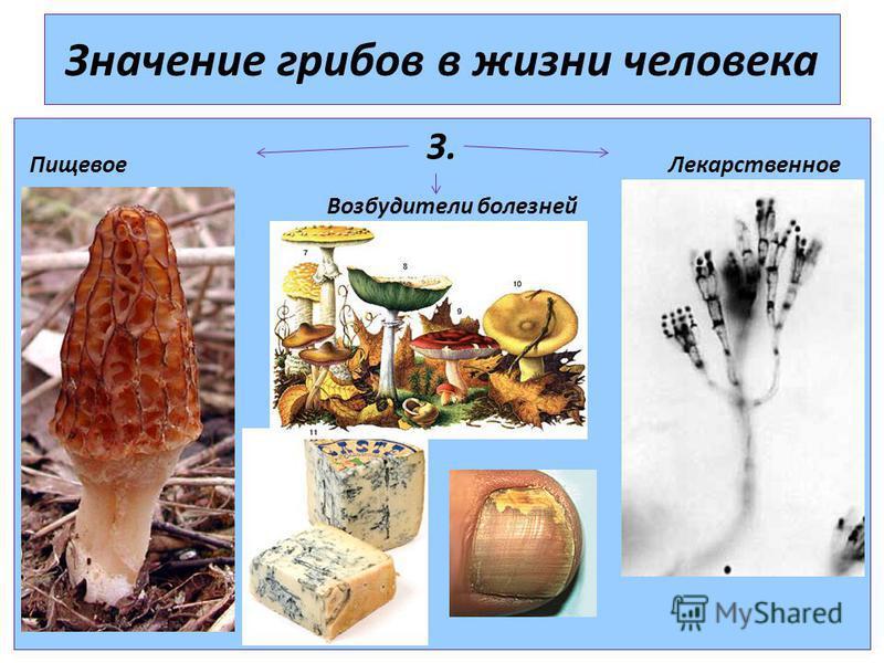 Значение грибов в жизни человека З. Пищевое Лекарственное Возбудители болезней