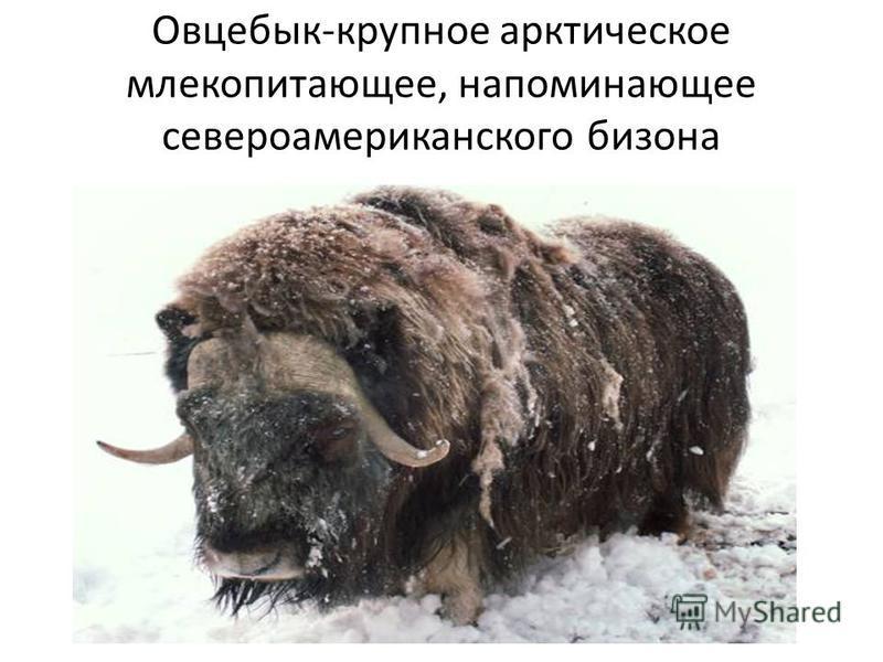 Овцебык-крупное арктическое млекопитающее, напоминающее североамериканского бизона