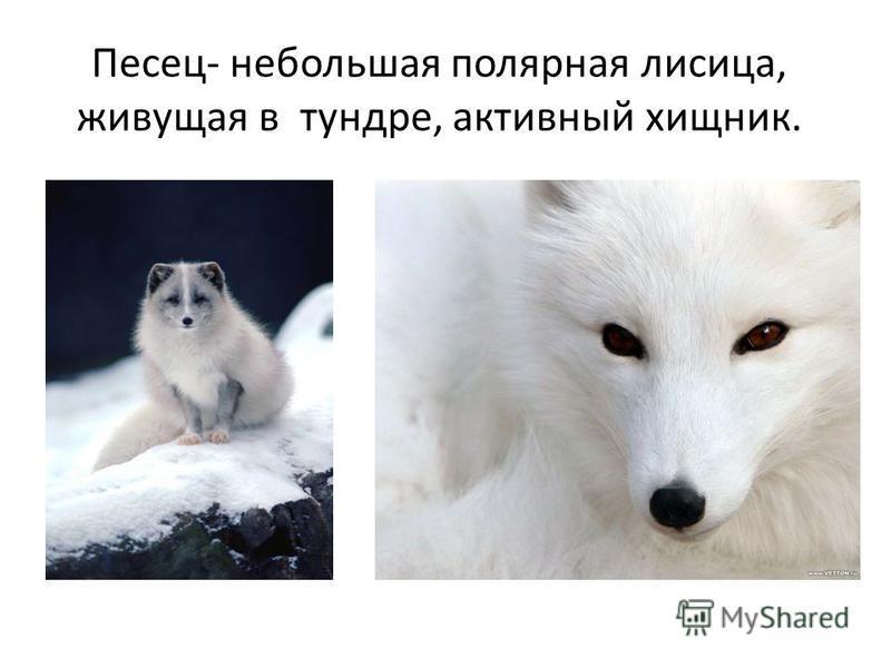 Песец- небольшая полярная лисица, живущая в тундре, активный хищник.