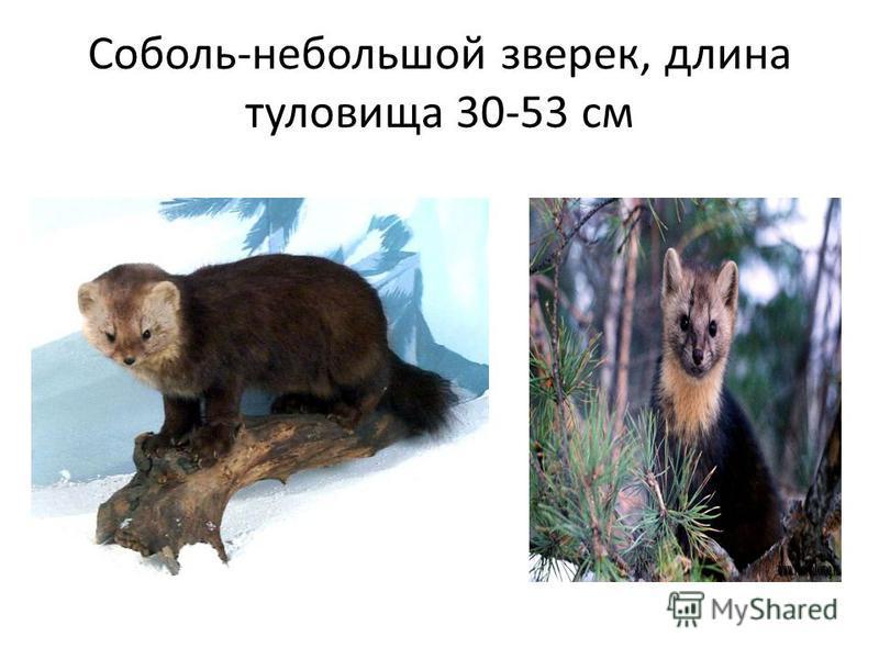 Соболь-небольшой зверек, длина туловища 30-53 см