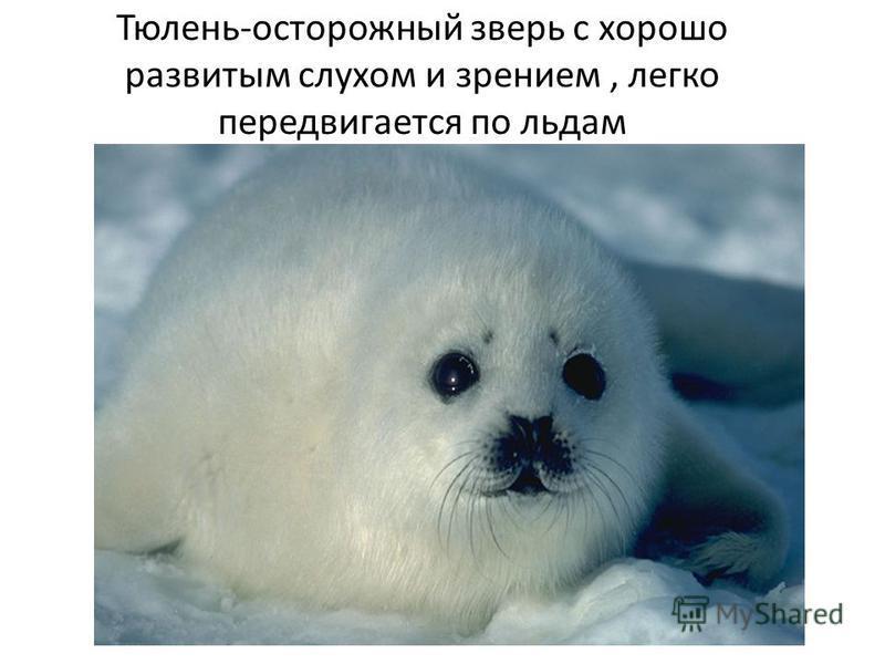 Тюлень-осторожный зверь с хорошо развитым слухом и зрением, легко передвигается по льдам